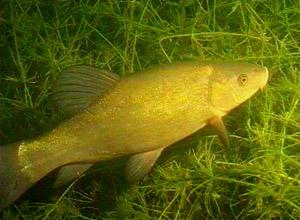 ЛИНЬ(Tinca tinca) Рыба семейства карповых (Cyprinidae), единственный представитель рода Tinca.